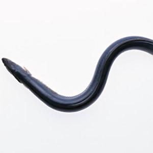 新日本科学は鰻の人工ふ化を可能とするか?